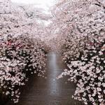 海外で話題の「最も美しい日本の桜満開の写真21枚」