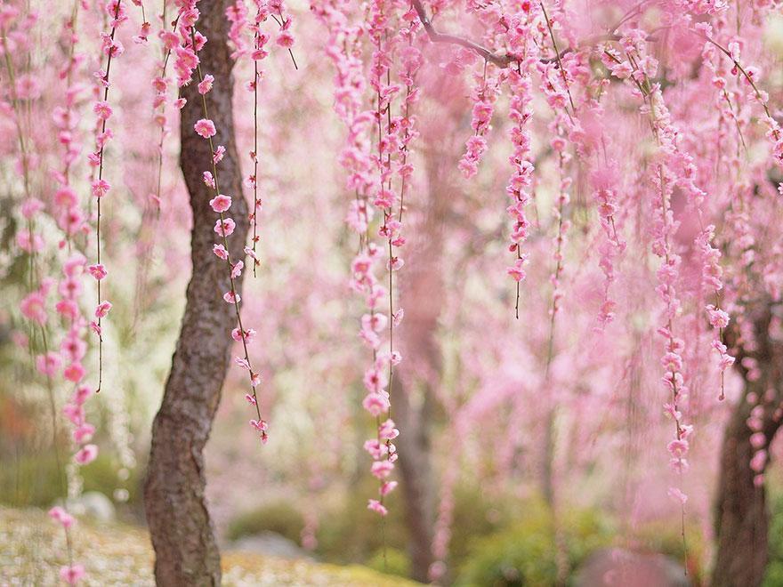 cherry-blossom-sakura-4