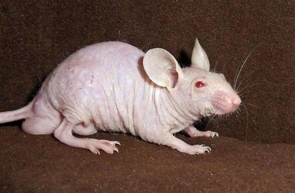 hairless-bald-animals-14