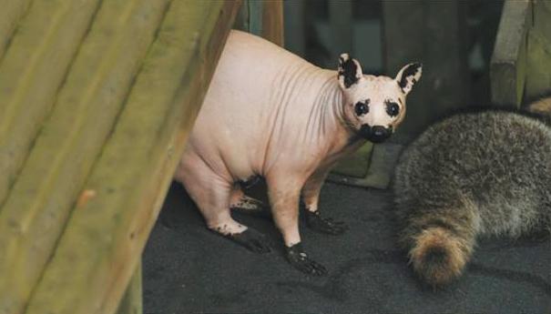 hairless-bald-animals-29