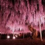 【海外の評価】 足利花公園144歳の大藤の花がピンクの空みたいと話題