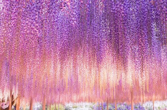 03-Ashikaga-Flower-Park-in-Japan_mini