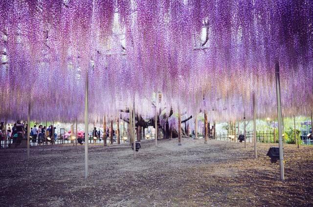 05-Ashikaga-Flower-Park-in-Japan_mini