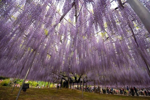 10-Ashikaga-Flower-Park-in-Japan_mini