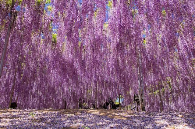 11-Ashikaga-Flower-Park-in-Japan_mini