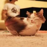 容器に合わせて身体を変形させた猫たちの写真14選