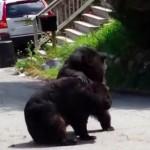 【衝撃動画】野生の熊が住宅街でガチ・バトル。でかいよ。こえ〜よ。
