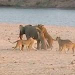 【動画】14頭のライオンに襲われたゾウが危機を脱した方法とは?