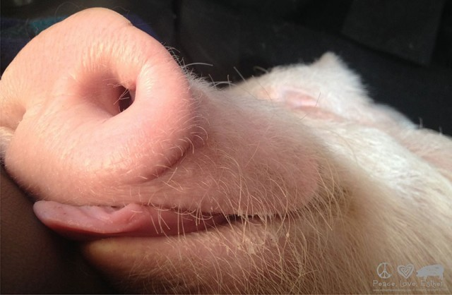 04-mini-pig-grew-up-into-670-pounds