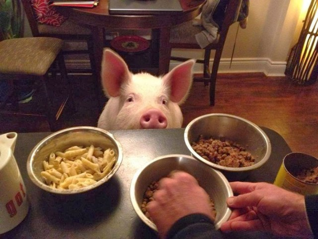 07-mini-pig-grew-up-into-670-pounds