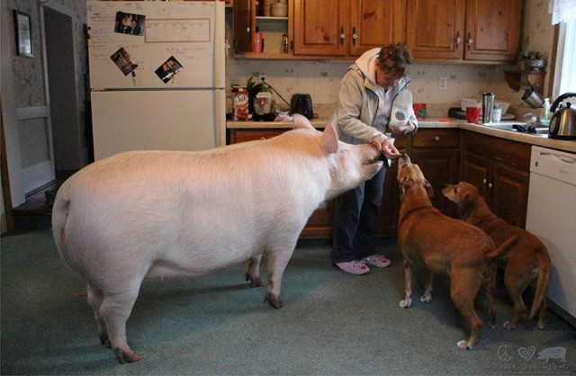 08-mini-pig-grew-up-into-670-pounds