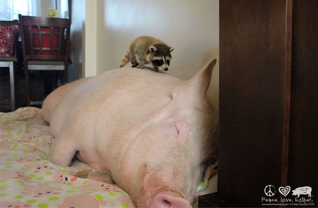 09-mini-pig-grew-up-into-670-pounds
