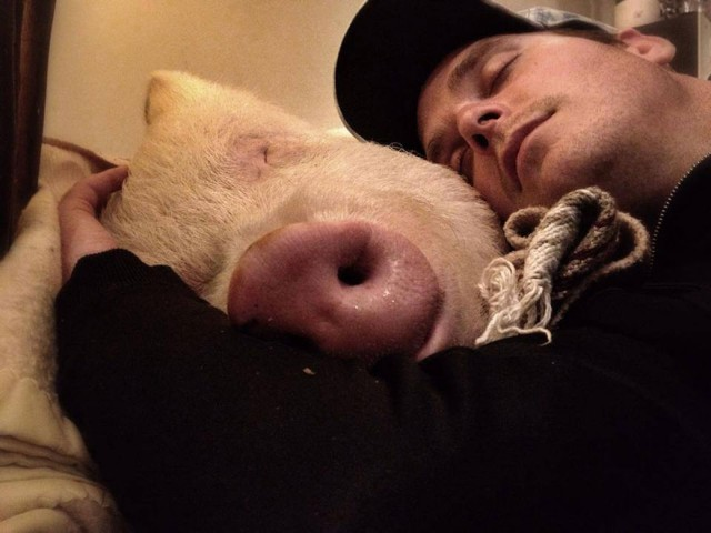 11-mini-pig-grew-up-into-670-pounds