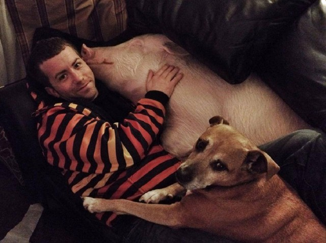 13-mini-pig-grew-up-into-670-pounds