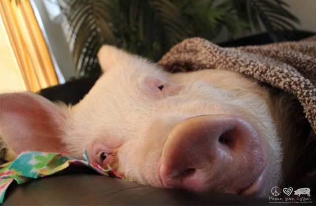 14-mini-pig-grew-up-into-670-pounds