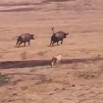 【感動2分動画】バッファローが子を守るために3頭のライオンに立ち向かう