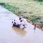 【癒し動画】子豚が氷の上をスリップ。表情が可愛い♪