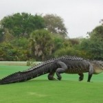 アメリカ・フロリダ州のゴルフ場に巨大アリゲーターが住みついた?
